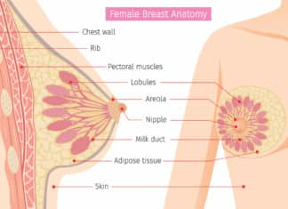 Rendering of breast anatomy to illustrate how to unclog a milk duct