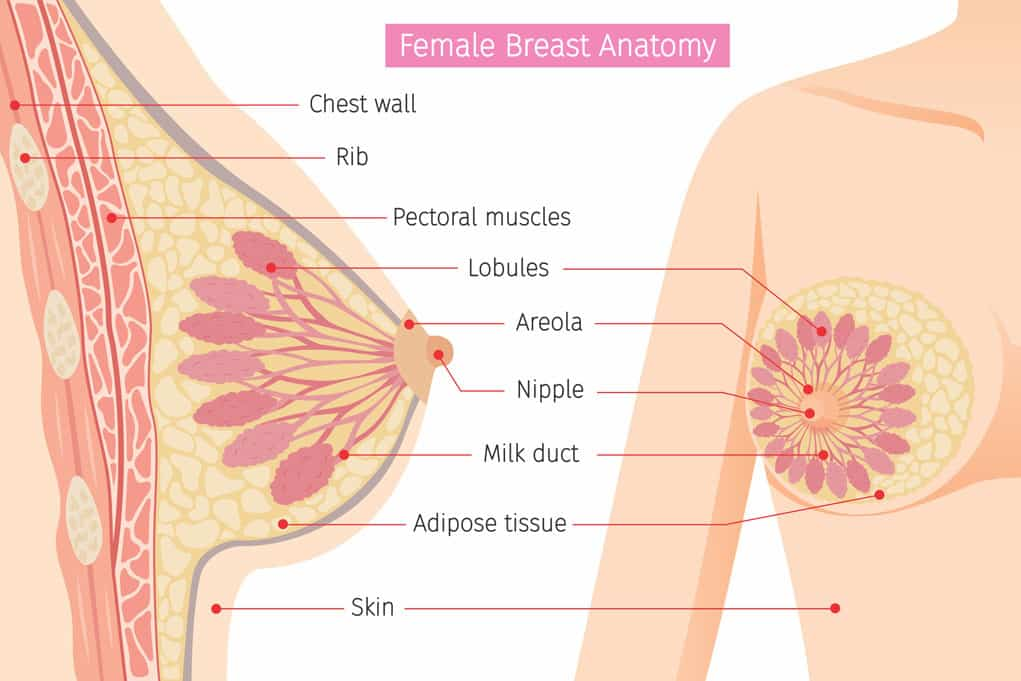 Rendering of breast anatomy to illustrate breast milk storage capacity